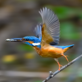 Run with the catch.... by Chandra Mouli Roy Chowdhury - Animals Birds