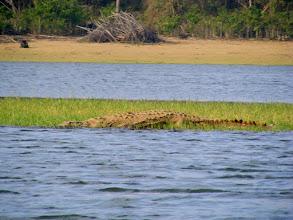 Photo: a large crocodile at Kabini