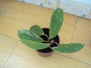 Photo: Hoya pubicalyx silver pink de Pepe