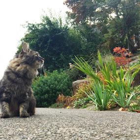 Fergus by Emma King - Animals - Cats Portraits (  )