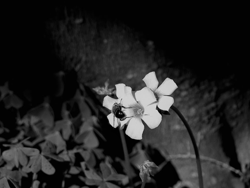 L'ape e i fiori di Liu84