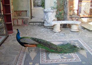 Photo: Bodrum, pronkende pauw op mozaiekvloer