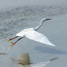 Take Off by Ansari Joshi - Animals Birds ( ras  al khor, waterscape, bird photography, birds, dubai,  )