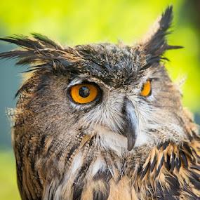 Whooooo by Scott Turnmeyer - Animals Birds ( orange, owl, portrait, eyes )