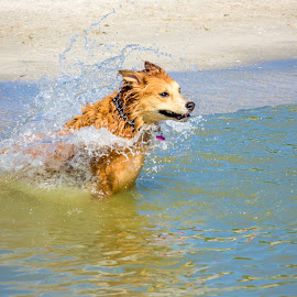 plunge by Meaghan Browning - Animals - Dogs Playing ( water, splash, swim, ocean, beach, golden retriever )