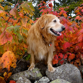 Autumn Leaves and Toby by Sandra Updyke - Animals - Dogs Portraits ( autumn leaves, toby, dog, golden retriever, fall color )