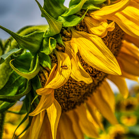 Sunflower by Venelin Dimitrov - Flowers Single Flower ( outdoor, nature, yellow, flora, summer, sunflower,  )