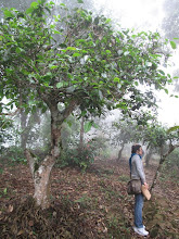 Photo: After a steep climb I take a break near this 500-year-old puer tea tree.