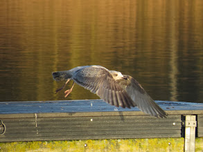 Photo: Priorslee Lake Here is the wing-pattern as it took off: this looks more 1st winter with very little grey and the 'window' of the inner primaries is rather less distinct than I would expect on Herring Gull. (Ed Wilson)