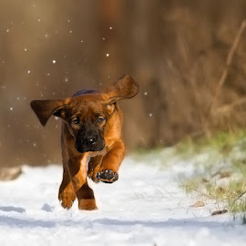 Csipke by Zoltán Túri - Animals - Dogs Running