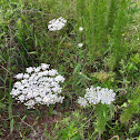 Queen Anne's Lace, Wild Carrot