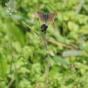 The Brown Argus