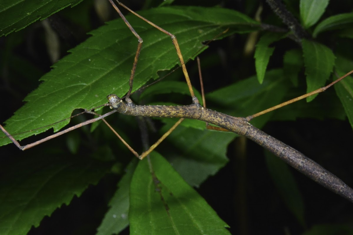 Stick Insect, Phasmi - Female