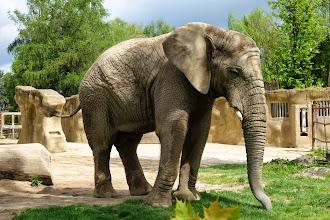 Photo: Slon africký, ZOO Dvůr Králové nad Labem