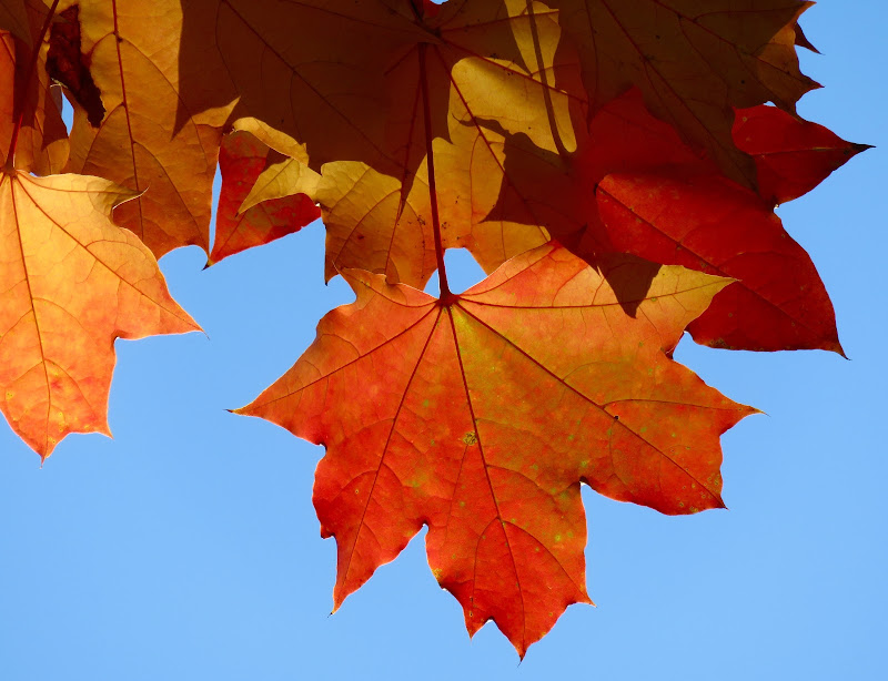 foglie arancio in cielo azzurro di mariellaturlon