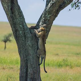 by David Barash - Animals Lions, Tigers & Big Cats