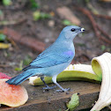 Sanhaçu-de-encontro-azul (Azure-shouldered Tanager)