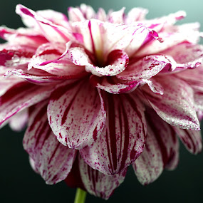 Raspberry Ripple Dahlia Wet by Gillian James - Flowers Single Flower ( close up, pink, dahlia, flower, water drops )