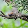 Minla cyanouroptera 藍翅希鶥