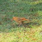 Rufous hornero