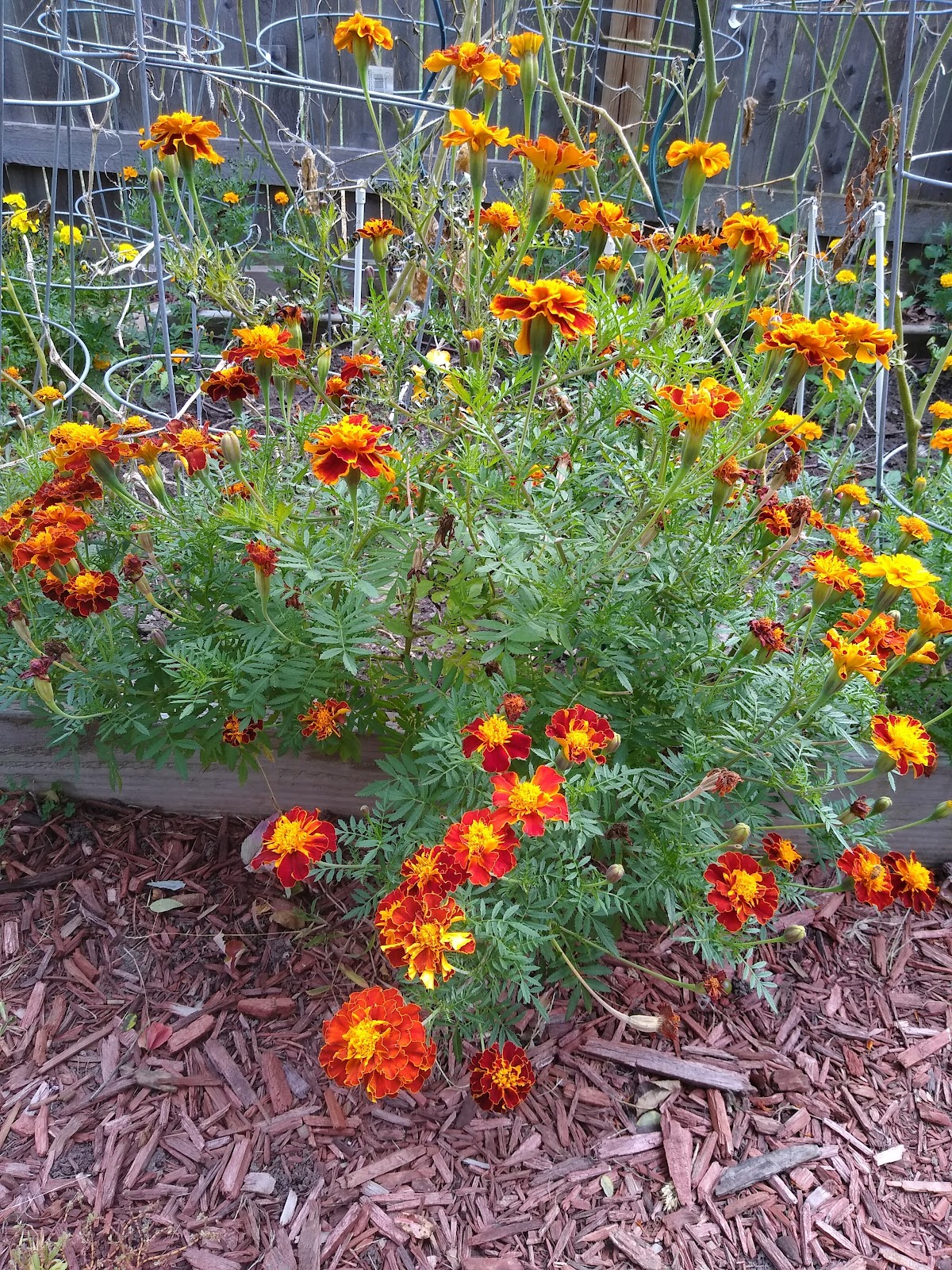 marigolds grown from seed picture