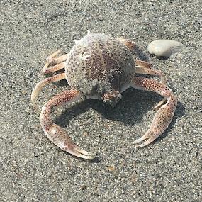 Crab  by Mandy Cole - Animals Sea Creatures