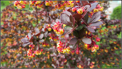 Photo: Dracilă (Berberis) - din Parcul Teilor - 2017.04.22
