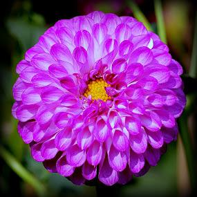 by Kuntal D - Flowers Single Flower