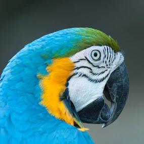 Blue and Yellow Macaw by Scott Thiel - Animals Birds ( bird, zoo, toronto, birds, portrait, macaw,  )