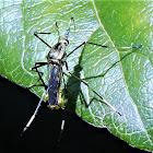 Mosquito Eater (female)