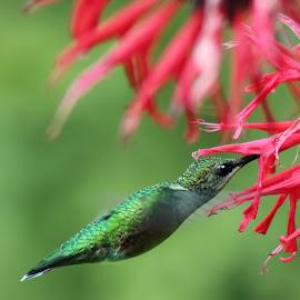 Straight Line to the Nectar! by Kelley Conkling - Animals Birds ( bird, wings, hummingbird, birds, hummingbirds )