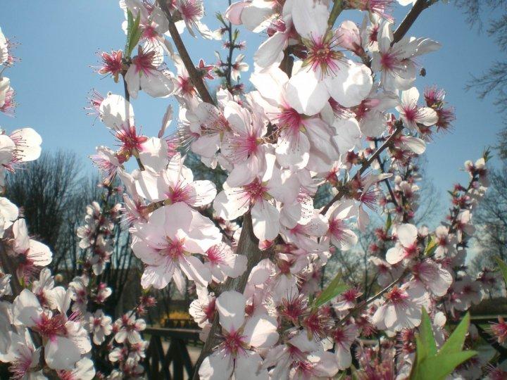 La magia dei fiori di mandorlo... di Wilmanna