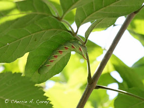 Photo: Waved sphinx (Ceratomia undulosa) on ash, 8.21.10