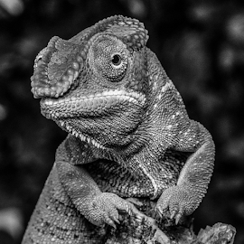 Chameleon by Garry Chisholm - Black & White Animals ( macro, nature, panther chameleon, reptile, lizard, garry chisholm )