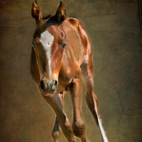 Here I come by Diana Gunning - Animals Horses ( equine, nature, colt, pet, horse, baby, running, animal, foal )