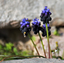 Photo: Muscari commutatum Guss.