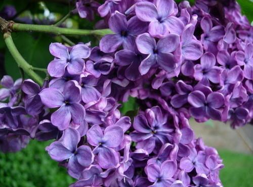 Candied Or Crystallized Lilacs Recipe
