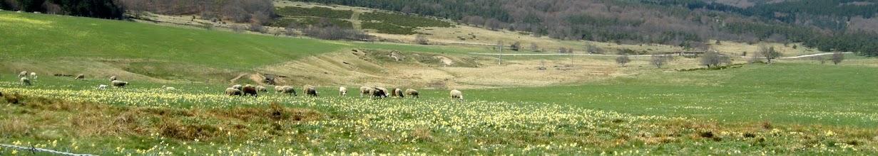 Photo: Les moutons aux jonquilles