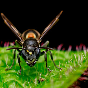 Bees by Oren Kaler - Animals Insects & Spiders ( macro, nature, close up )