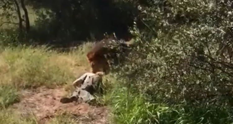 The lion attack in Limpopo was caught on camera
