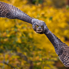 The Hunt by Bill Killillay - Animals Birds ( canon, flight, calloway gardens, owl, great horned owl, ga )