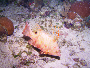 Photo: Hogfish (night dive)