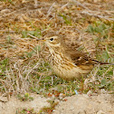 American Pipit