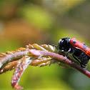 Ant Bag Beetle