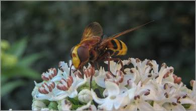 Photo: Boz (sambucus ebulus) - si albinuta - de pe Aleea Plopilor - 2017.07.23