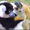 Black and white lemur and squirrel monkey
