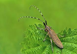 Photo: Agapanthia villosoviridescens, Saperde à pilosité verdâtre, Golden-Bloomed Grey Longhorn Beetle http://lepidoptera-butterflies.blogspot.com/
