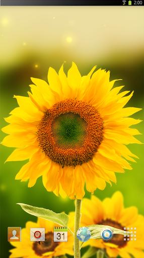 Sun flower yellow LWP HD
