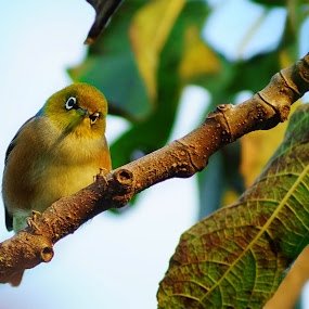 Hello there! by Aram Becker - Animals Birds ( bird, look, nature, tree, fig, branch, cute, leaves )