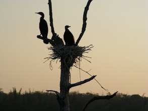 Photo: Cormorants with their chicks on their nest